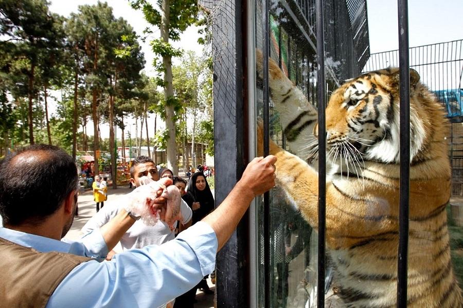 ببری در باغ وحش پارک ارم
