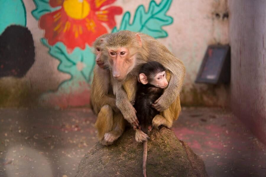 میمون رزوس در باغ وحش ایروان