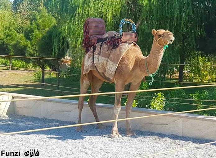 شتر آماده سواری دادن به بازدیدکنندگان در باغ وحش صفا دشت
