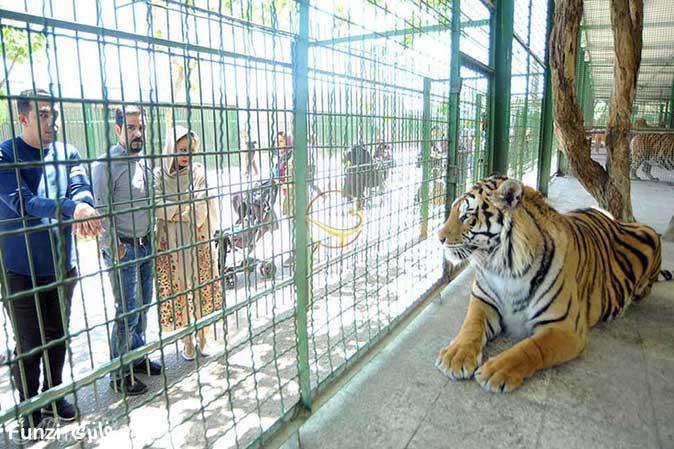 ببرشیر در باغ وحش وکیل آباد مشهد