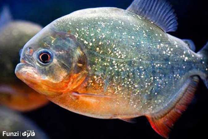 ماهی پیرانا در آکواریوم اصفهان