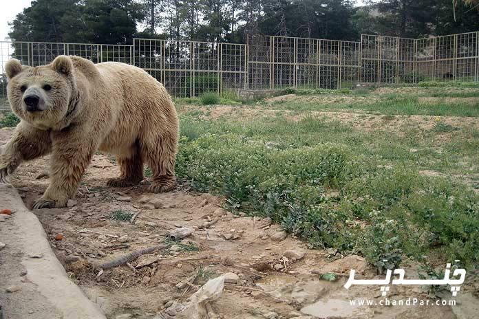 خرس قهوه-ای