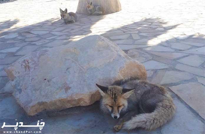 روباه در باغ وحش شيراز