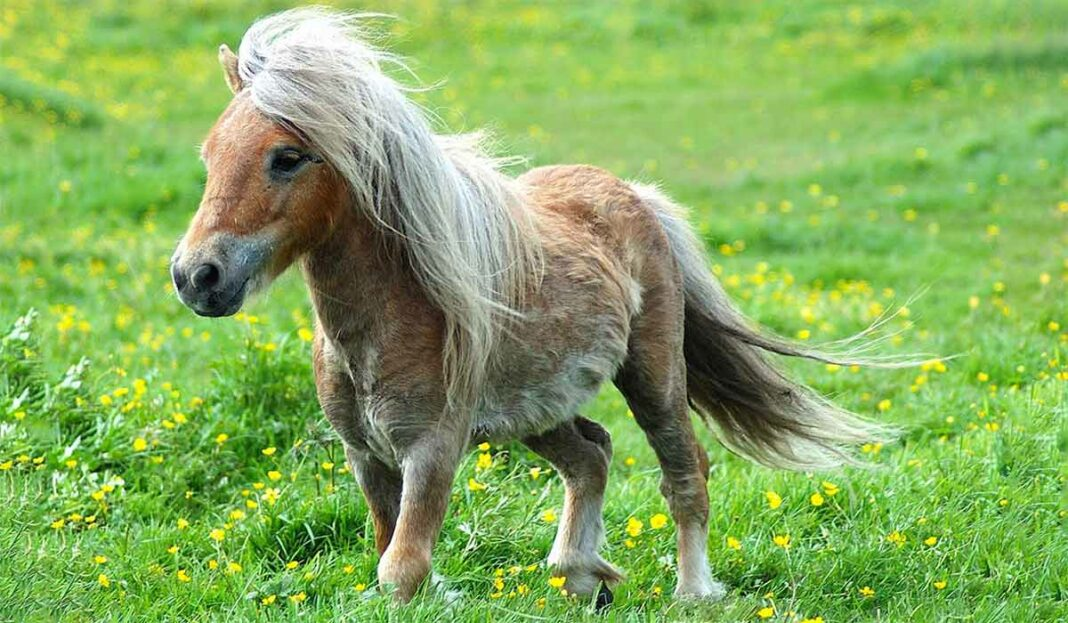 حیوان اسب پونی