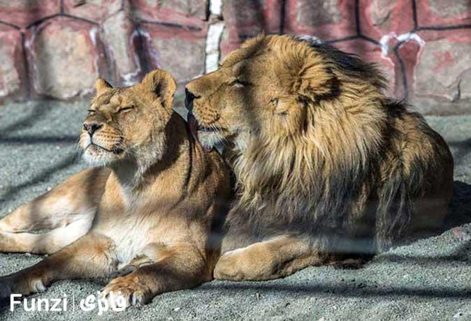 شیرها در باغ وحش باراجین